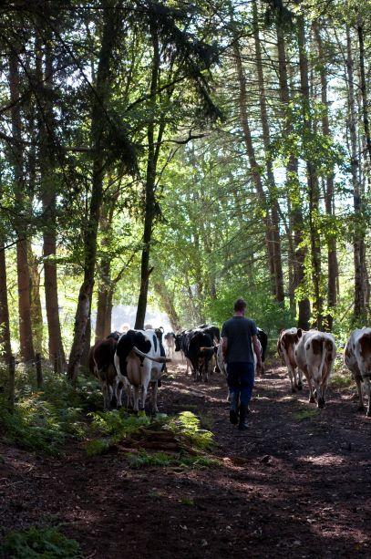 Cows in Urtica