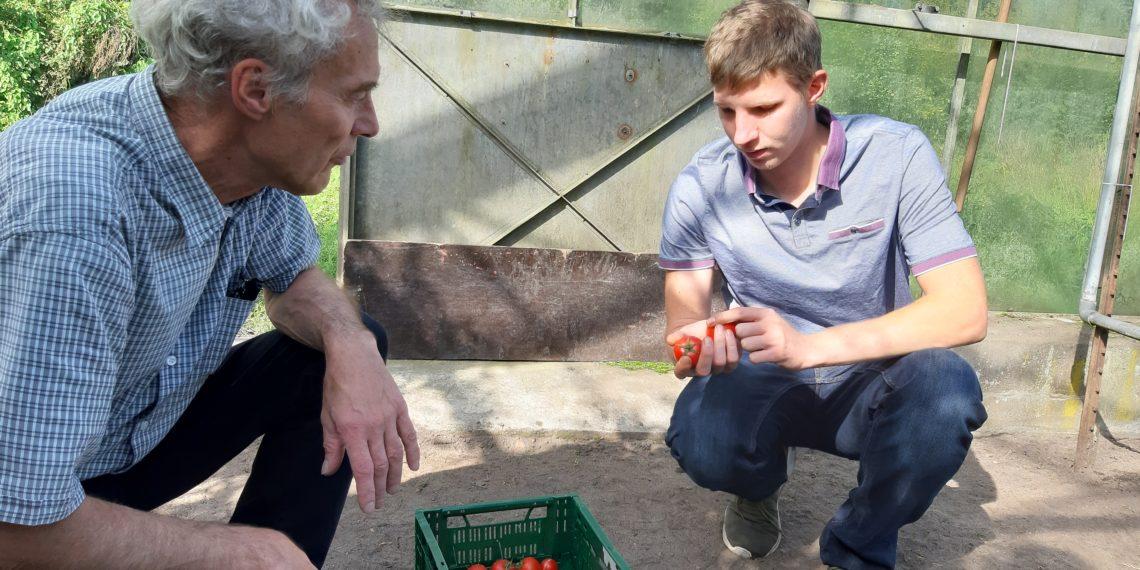 Michael und Peter sortieren Tomaten